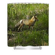 Male Fox   #3521 Shower Curtain