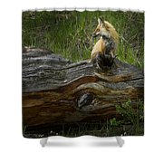 Male Fox   #3575 Shower Curtain