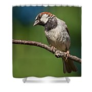 Male House Sparrow Perched In A Tree Shower Curtain