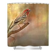 Male Housefinch Looking Up Shower Curtain