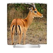Male Impala With Horns Shower Curtain