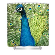 Male Indian Peacock Shower Curtain