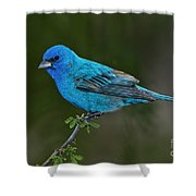 Male Indigo Bunting Shower Curtain