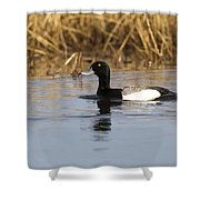 Male Lesser Scaup Shower Curtain