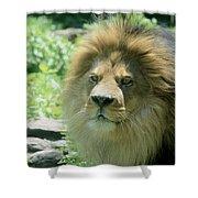 Male Lion Up Close Shower Curtain