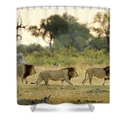 Male Lions At Dawn, Moremi Game Shower Curtain