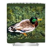Male Mallard Swimming Shower Curtain