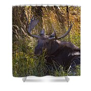Male Moose   #3865 Shower Curtain