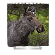 Male Moose   #5696 Shower Curtain