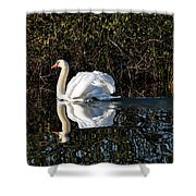 Male Mute Swan Shower Curtain