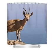 Male Nubian Ibex 1 Shower Curtain