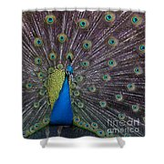 Male Peacock   #9053 Shower Curtain