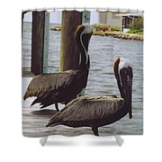 Male Pelicans Shower Curtain