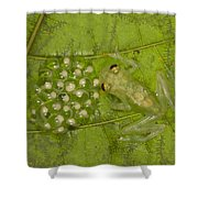 Male Reticulated Glass Frog  Guarding Shower Curtain