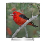 Male Scarlet Tanager Shower Curtain