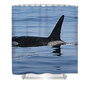 Male Transient Orca In Monterey Bay 11-10-13 Shower Curtain