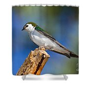 Male Violet-green Swallow Shower Curtain
