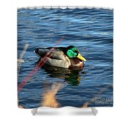 Mallard Drake Passing  Shower Curtain