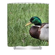 Mallard In The Grass Shower Curtain