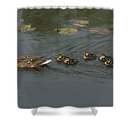 Mallard Mother With Ducklings Shower Curtain