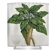 Mandragora Officinarum Shower Curtain by LFJ Hoquart