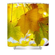 Maple Leaves In Autumn Glory Shower Curtain