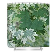 Maple Leaves Same Tree Shower Curtain