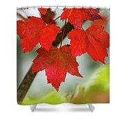 Maple Leaves Show Off Their Autumn Hues Shower Curtain