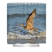 Marbled Godwit Taking Off On Beach Shower Curtain