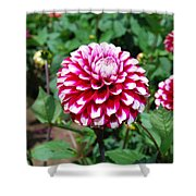Maroon And White Flower Shower Curtain