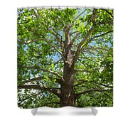 Mature Sycamore Shower Curtain