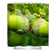 Maturing Acorns Shower Curtain