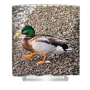 Meet Mr. Quack - A Mallard Duck Shower Curtain