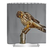 Merlin Falcon Searching For Prey Shower Curtain