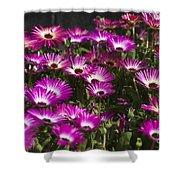 Mesembryanthemums 3 Shower Curtain