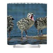 Mew Gull Three Chicks Shower Curtain by Tom Vezo