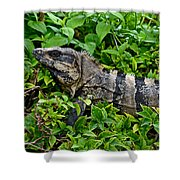 Mexican Spinytailed Iguana  Shower Curtain