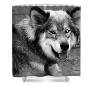 Miley The Husky With Blue And Brown Eyes - Black And White Shower Curtain by Doc Braham
