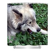 Miley The Husky With Blue And Brown Eyes - Impressionist Artistic Work Shower Curtain