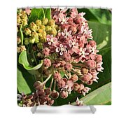 Milkweed Flowers In Bud Shower Curtain