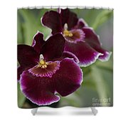 Miltoniopsis Rouge 'california Plum'  Macro  2692 Shower Curtain
