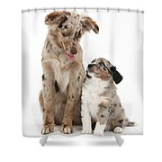 Miniature American Shepherd With Puppy Shower Curtain