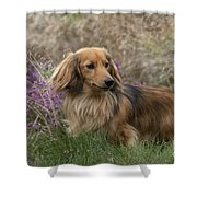 Miniature Long-haired Dachshund Shower Curtain