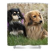 Miniature Long-haired Dachshunds Shower Curtain