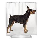 Miniature Pinscher Shower Curtain