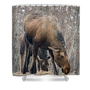 Mom And Young Moose Shower Curtain