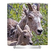 Momma And Baby Ram Shower Curtain