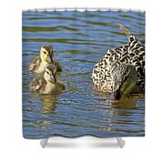Momma Mallard And Her Ducklings Shower Curtain