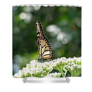 Monarch Butterfly 72 Shower Curtain