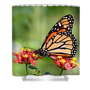 Monarch Butterfly On Lantana Flowers Shower Curtain